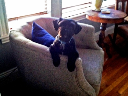 Buster on our tufted chair